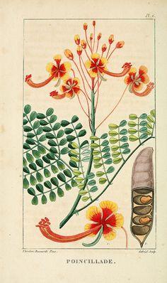 n89_w1150 by BioDivLibrary on Flickr. Via Flickr: Flore pittoresque et médicale des Antilles v.1 Paris Pichard,1821-1829. biodiversitylibrary.org/page/3481132