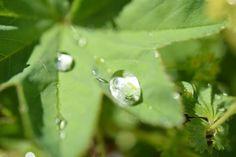Kräuterwissen: Frauenmantel - alles um das wunderbare Frauenheilkraut! Diamond Earrings, Pearl Earrings, Kraut, Plant Leaves, Pearls, Jewelry, Fashion, Women's Coats, Home Remedies