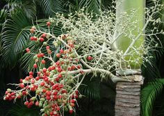 Berry or nut producing Palm Tree?
