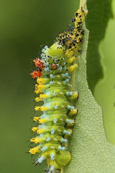 Cecropia moth caterpillar that had just molted turned to eat the cast skin, thus recycling the materials in it.