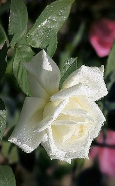 Beautiful Roses, Beautiful Gardens, White Roses, White White, Green, Plants, Tattoo Ideas, Butterfly, Flower