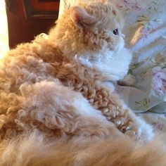 best images and photos ideas about selkirk rex cat - most affectionate cat breed and like OMG! get some yourself some pawtastic adorable cat apparel! Pretty Cats, Beautiful Cats, Animals Beautiful, Pretty Kitty, Beautiful Creatures, I Love Cats, Crazy Cats, Cool Cats, Cute Kittens