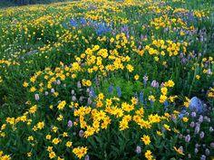 Wildflowers in mountain meadow – Albion Basin