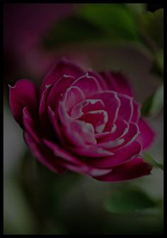 #punainen kukka #kaunis #photography #valokuvaus #painting #card #red