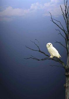 snowy owl- stunning