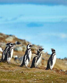 Let's go bird-watching and see #penguins in #SouthAmerica.