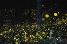 Gold fireflies gather in Japan to mate during the rainy season, making this forest look like a gathering place for fairies.