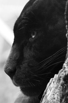 * * THE BLACK PANTHER IS A FIERCE ANIMAL BUT WON'[T ATTACK UNLESS HE  IS BACKED INTO A CORNER.