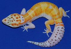 Bell Albino White and Yellow Leopard Gecko