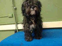 #A4782402 I'm an approximately 6 month old female terrier. I am not yet spayed. I have been at the Carson Animal Care Center since December 7, 2014. I will be available on December 11, 2014. You can visit me at my temporary home at C226. Carson Shelter, Gardena, California https://www.facebook.com/171850219654287/photos/pb.171850219654287.-2207520000.1418086002./341878765984764/?type=3&theater