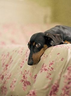 Dachshund watching you watching it