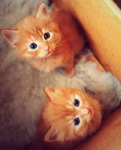 Ginger kitttttteeeeesssssss! With blue eyes! Love them!