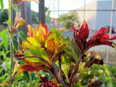 dawn gilds day/ hummingbirds zip past circus-bright plants/ wings trilling #haiku #coleus #containergarden (Backstory: Up early, seeing the sunrise light the foliage of the coleus in the pots on my porch filled with plants hummingbirds love, I ran for my camera. As I was shooting, hummingbirds were zipping around me!)