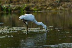 Great Eastern Egret stock photo