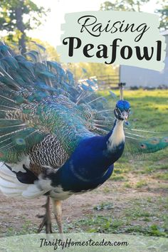 Here are some of the reasons why we like them as well as info about getting started, breeding, and raising peafowl. Peacock And Peahen, Peacock Bird, Peacock Colors, Peacock Feathers, Raising Farm Animals, Raising Chickens, Animals And Pets, Farm Gardens, Veggie Gardens
