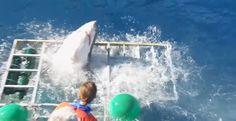Λευκός καρχαρίας εισβάλλει σε κλουβί δύτη και σπέρνει τον πανικό !