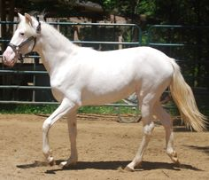 "Sabino (white) - Exotica, an extreme sabino (also called ""sabino white"") Paso Fino owned by Trademark Farms."
