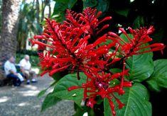 Tropical Flowering Shrub: Odontonema strictum, Firespike