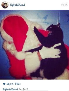 Haha he dont like fake santa clouses hes a meaan smart kitty Funny Cat Memes, Funny Cat Videos, Funny Cat Pictures, Dog Pictures, Funny Cats And Dogs, Cats And Kittens, Norman Reedus Cat, Cat Brain, Cats Bus