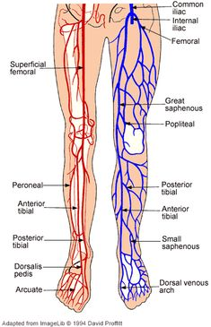 lower leg nerve diagram vehicle wiring diagrams remote start anatomy of the nerves arteries and veins arm upper limb artery vein anatomical innervation www anatomynote com