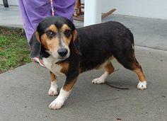 adopt fraggle on beagle mix