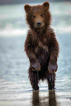 Soaking Wet Bear Cub in Alaska.... So cute, I could keep him. But he'd get bigger raid the cupboards and well, probably eat me :(