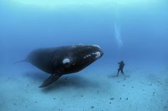 an adult southern right whale, (eubalaena australis) encounters a diver on the sandy sea bottom at a depth of 22-meters off the auckland islands, new zealand (sub antarctic islands)