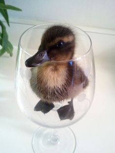 Duck in a glass