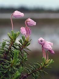 Kurjenkanerva - Lappljung - Blue heath Plants, Blue, Plant, Planets