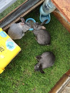 3 -12 week old Standard Chinchilla x Californian rabbits. Since we have had a slightly break from the rain, we put out most of the rabbits in runs so they can stretch their legs & enjoy the grass.