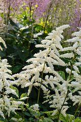 521422 - Garden astilbe (Astilbe x arendsii 'White Queen')