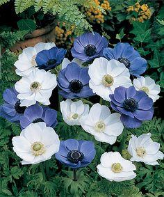 Blue & White Windflower Mix Latin Name: Anemone De Caen Bulb Flowers, Love Flowers, Beautiful Flowers, Single Flowers, Colorful Flowers, White Anemone Flower, White Flowers, Purple Flowers, Garden Bulbs