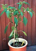 Crash-Kurs für Chili-Gärtner, Teil 3: Hege und Pflege    Crash Course for chili gardeners, part 3: cultivation and care    Bild: Bluehende Jalapeno-Pflanze   Picture: blooming Jalapeno plant