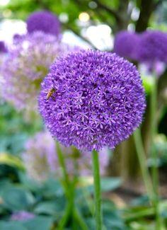 is romance... Soort van uienbol, geweldig die grote bol met al die kleine bloemetjes, een prachtige ronde eenheid!