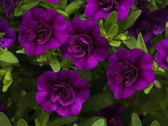 Million Bells 'Mini-Famous Double Blue' Calibrachoa - You really can't go wrong with Million Bells in your sunny basket or containers. They come in a wide range of colours, single or double blooms and the best part... no deadheading required.