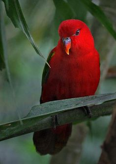 Magnificent color...Female Eclectus