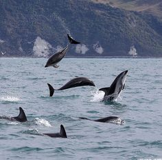 Dusky Dolphins having a good time in Kaikoura, New Zealand #KaikouraNZ. #adventuretravel #dolphins We hope your weekend is just as fun! = @dennisbuurman