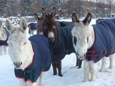 Donkeys enjoy snow at The Donkey Sanctuary's Donkey Assisted Therapy centre in Leeds. Photo copyright of The Donkey Sanctuary | Flickr - Pho...