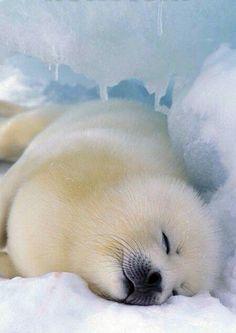 Harp seal pup resting.