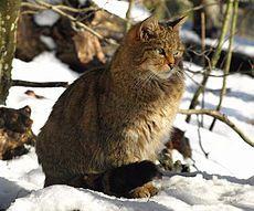 European Wildcat (Felis sylvestris sylvestris) are found throughout Europe - except Scandinavia and Ireland. Photo taken at the Kocka divoka Zoo - Decin, Czech Republic. Brown Rat, Small Wild Cats, Video Chat, Feral Cats, Domestic Cat, Fauna, Mammals, Puppy Love, Habitats