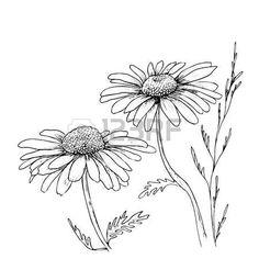 marguerite: Camomille dessiné à la main des fleurs fond, fleurs illustration vectorielle