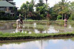6/2(金)バリ島ウブドのお天気は晴れ。室内温度28.0℃、湿度69%。ここ最近雲の多い日々。太陽が出たー!と思ったら、すぐに引っ込んじゃう。水を引き、田植え作業も始まりましたよー!