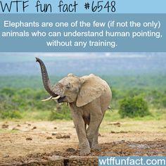 Elephants - WTF fun facts