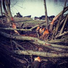 #hello #beaver #traunau #linz #ebelsberg #nature #wildlife #wildlifephotography #biber #citylife #linzpictures #danube #riverdanube #travel #tourism #natur #goodmorning