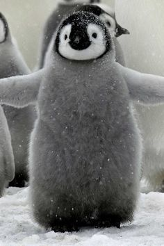 Look this cute baby penguin all Happy Feet style