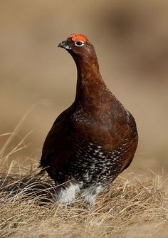 Scottish Red Grouse http://raptorpolitics.org.uk/wp-content/gallery/grouse/red-grouse-portrate.jpg