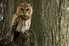 Tawny owl by Paul Hayes on 500px
