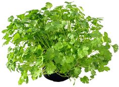 How to grow cilantro / coriander from seed.