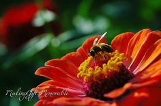Hey, I found this really awesome Etsy listing at https://www.etsy.com/listing/202676531/bee-and-zennia-flower-photograph-that
