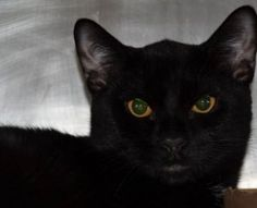 Binks came to us as a stray with a kitty cold that appears to be resolving however, our vet will confirm on Tuesday. He was tense coming in and has warmed up to staff (not fractious)  but will need some time to acclimate to his new environment.